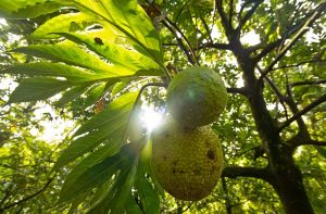 Could breadfruit be the next superfood? UBC researchers say yes
